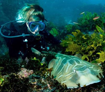 Cherie encounters a Fiddler Ray at Shelly Beach, Manly. This harmless species is a cross between a shark & ray.