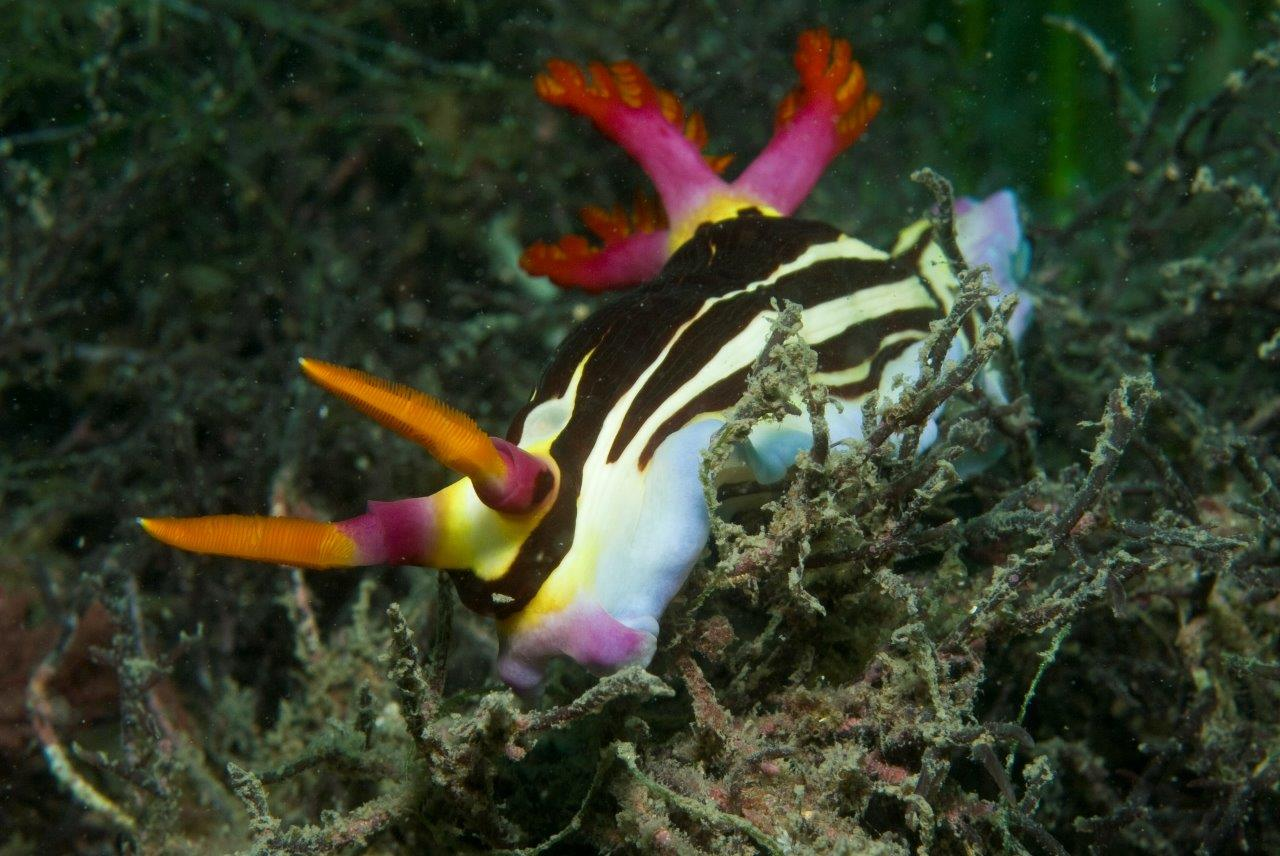Our Bare Island dive site is the best location for encountering many species of Nudibranchs
