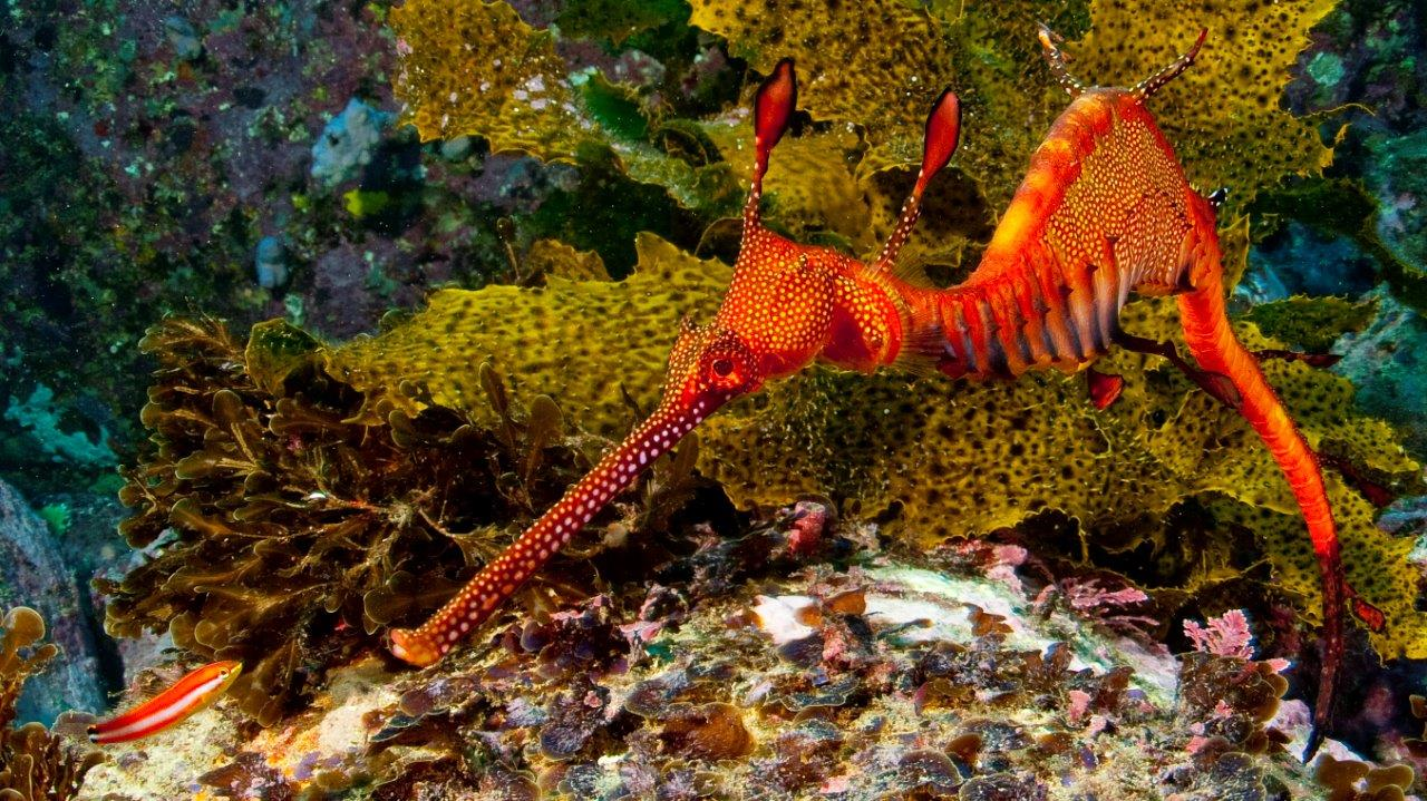 Sydney dive site Kurnell at the entrance to Botany Bay is our best shore dive featuring Sea Dragons.