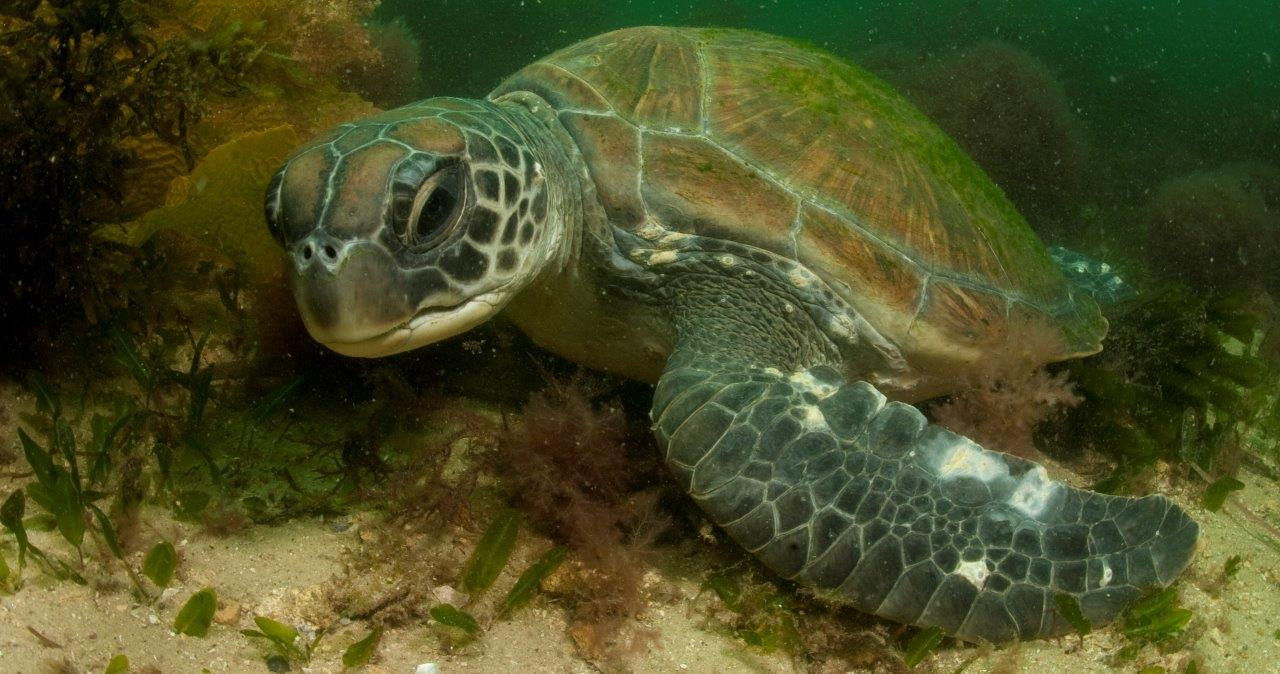 Green Turtles are occasional visitors to Sydney but of course anyone who has seen `Finding Nemo' would know that!