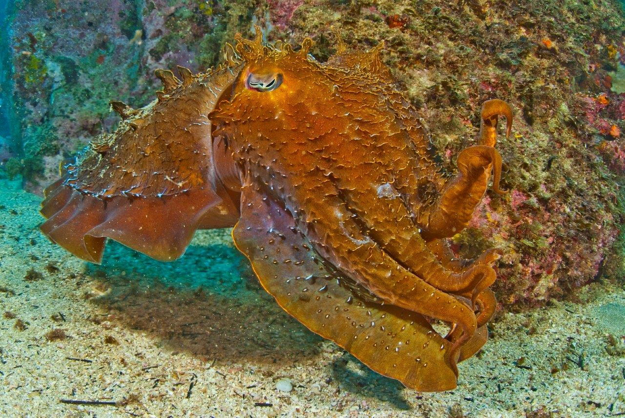 Australian Giant Cuttlefish over one meter in length move into some of our local dive sites such as Cabbage Tree Bay, Bare Island & Kurnell ready to mate in Spring.