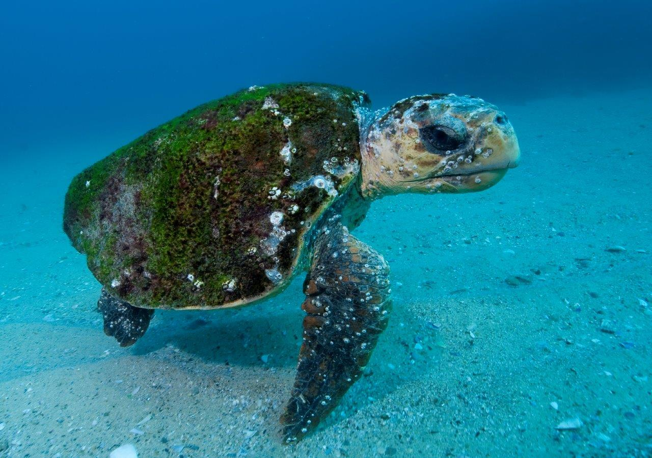 Great big Loggerhead Turtles and Green Turtles are occasional inhabitants at Fish Rock