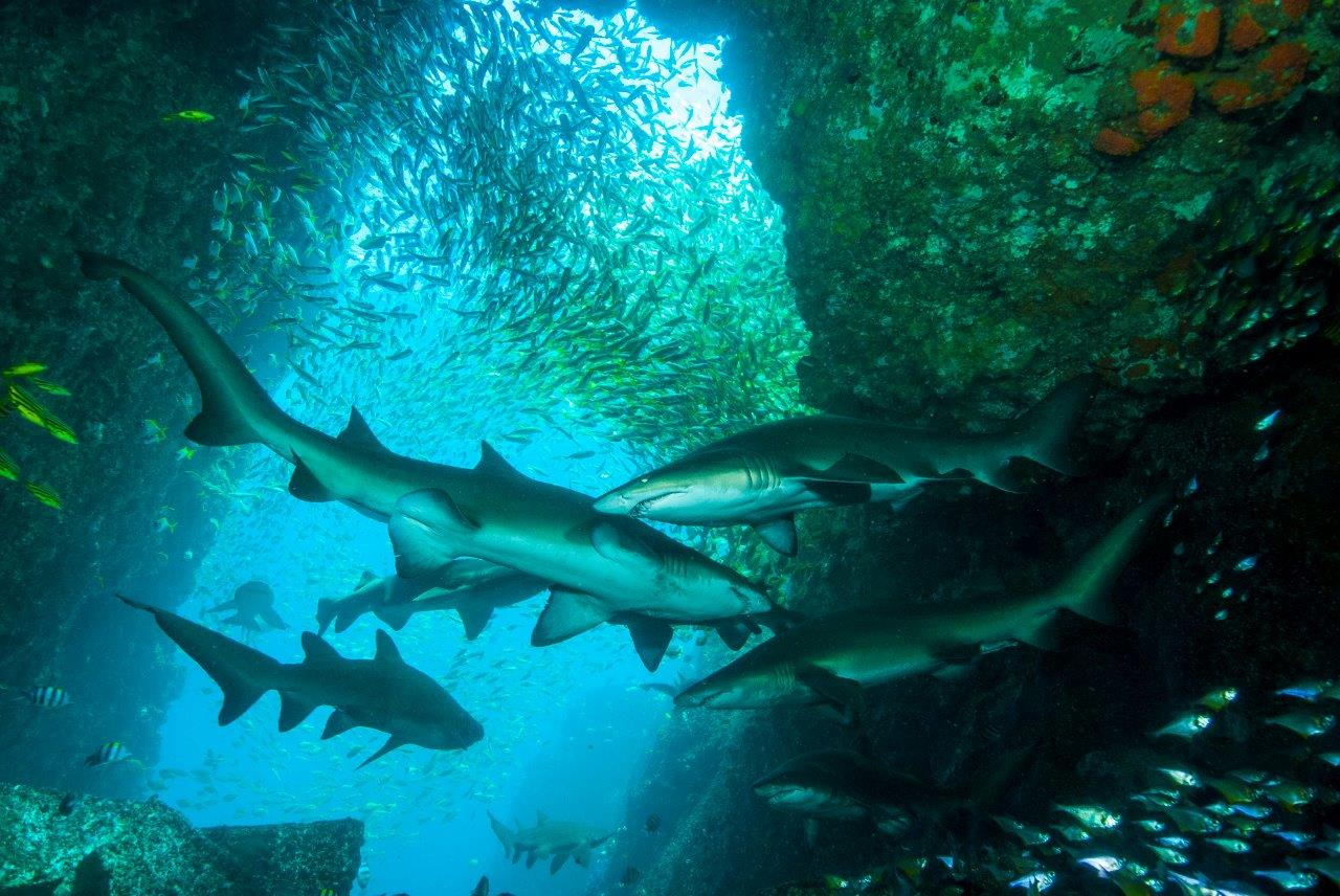 Grey Nurse Sharks cruise along the walls of Fish Rock but many other species of big pelagic creatures can turn up here too