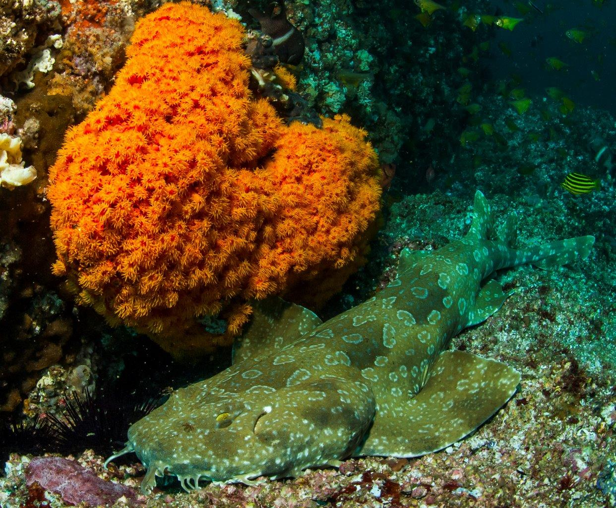 Spotted Wobbegongs can be found all around Fish Rock Cave