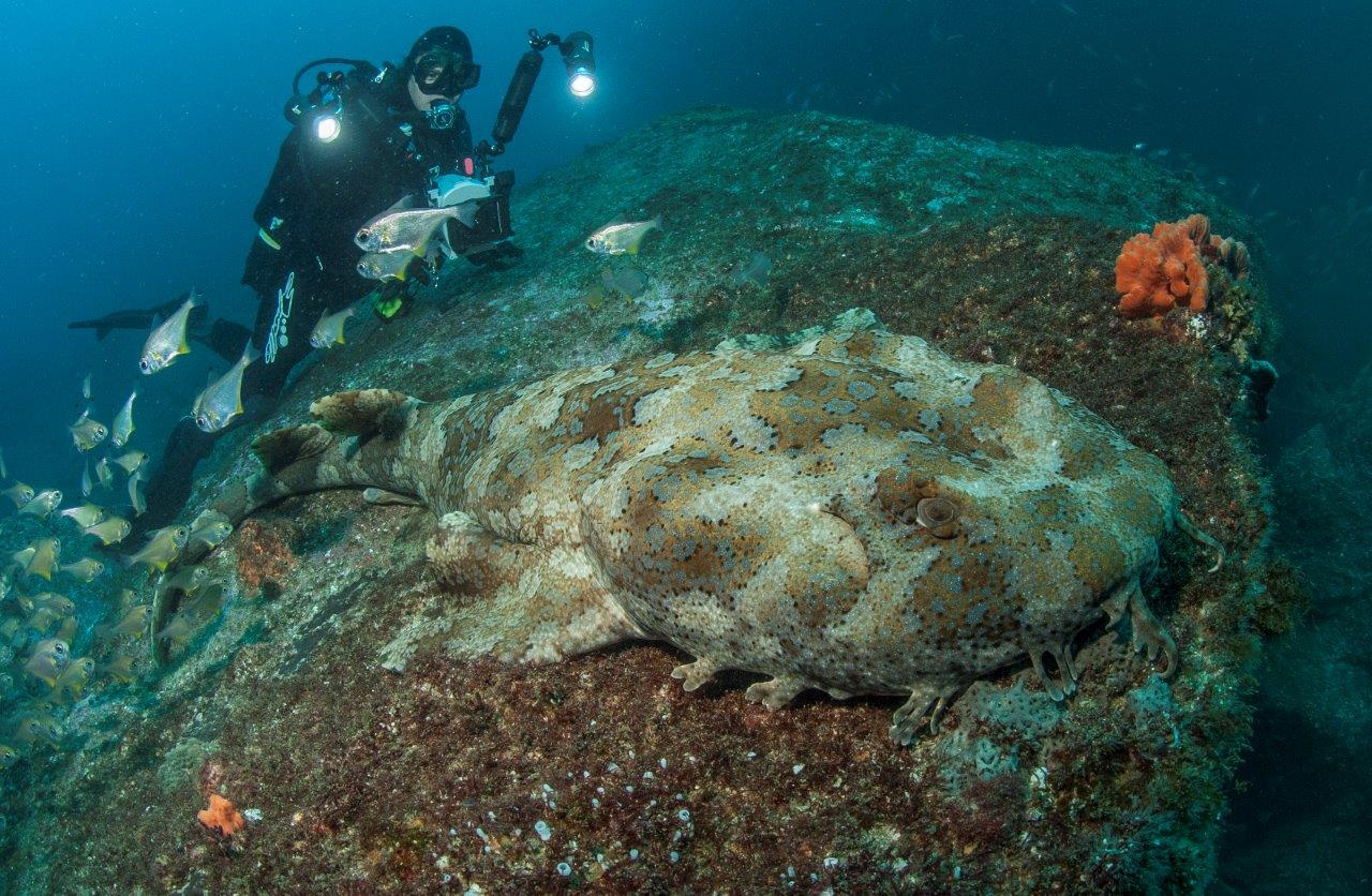 The giant Ornate Wobbegong is spectacular but for the most part it is very benign around divers unless one is stupid enough to harass them!