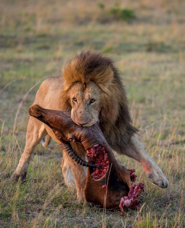 Lions provide a thrilling encounter and watching them feeding on a kill reveals the circle of life in nature.