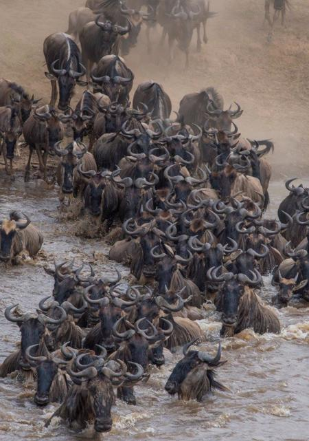 Our Kenya safaris are always timed to coincide with the World famous migration! The Great Migration is one of the most impressive natural events worldwide, involving some 1,300,000 wildebeest, 500,000 Thompson's gazelles, 18,000 elands, and 200,000 zebras. These migrants are followed along their annual, circular route by predators, most notably lions and hyena.