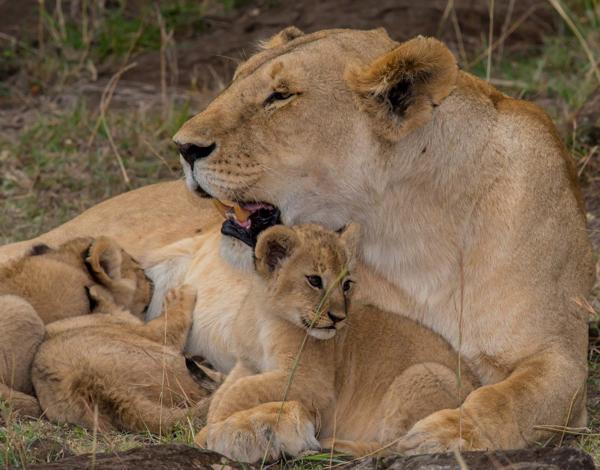 Nothing brings more joy than witnessing the parental love of a lioness with her newborn cubs and the `kitten like' playfulness of the young.