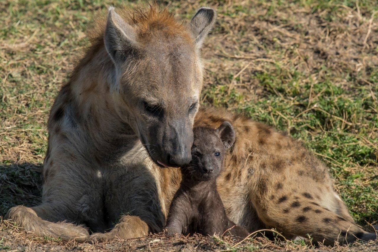 Even baby hyenas are cute and well cared for by their mother.