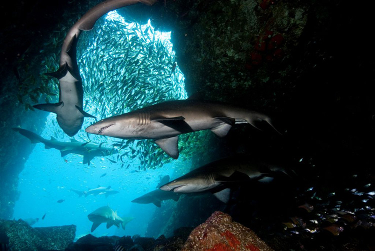 Grey Nurse Sharks at Fish Rock Cave