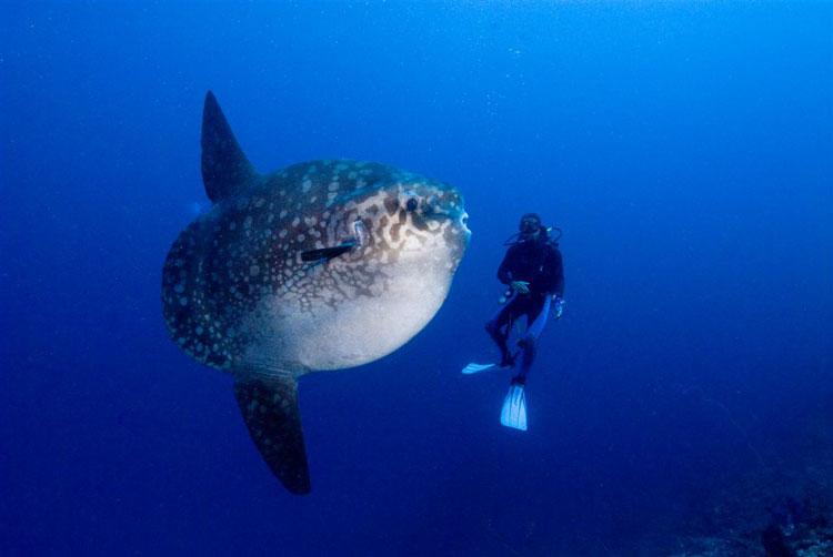 2011_03_10 Giant Sunfish and Madi Pacific Ocean Underwater Animals