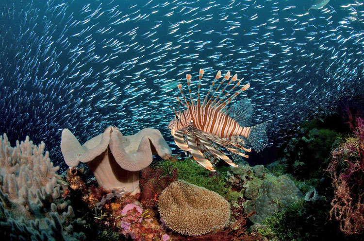 Lionfish in Coral Gardens