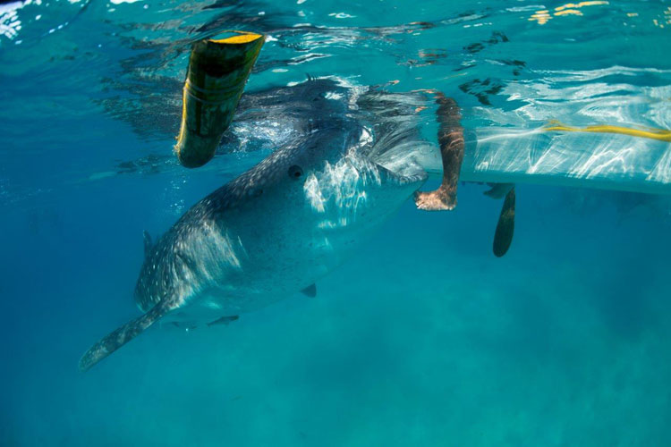 Feeding Whale Sharks in the Philippines