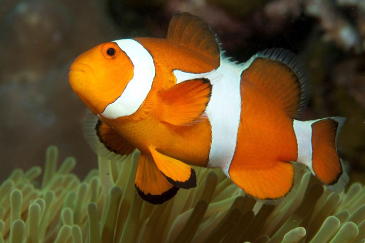 Nemo the Clownfish