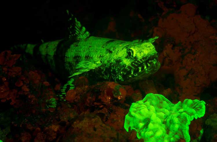 Lizardfish and Coral Fluorescing