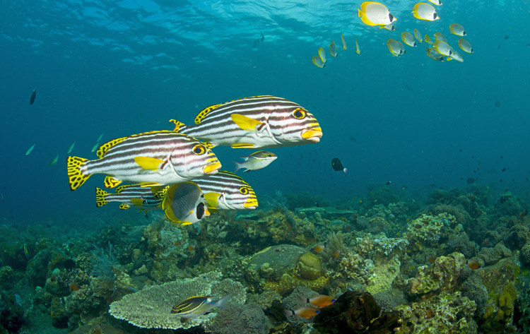 Oriental Sweetlips & Butterfly Fish School