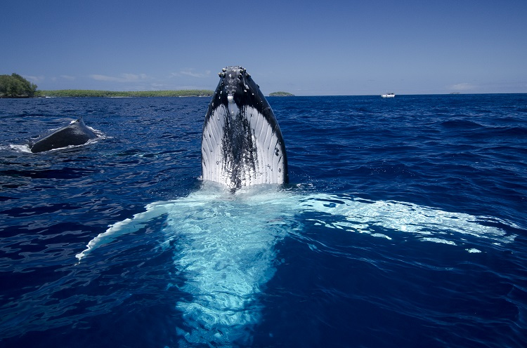 Tonga - Vava'u - Swim with Humpback Whales