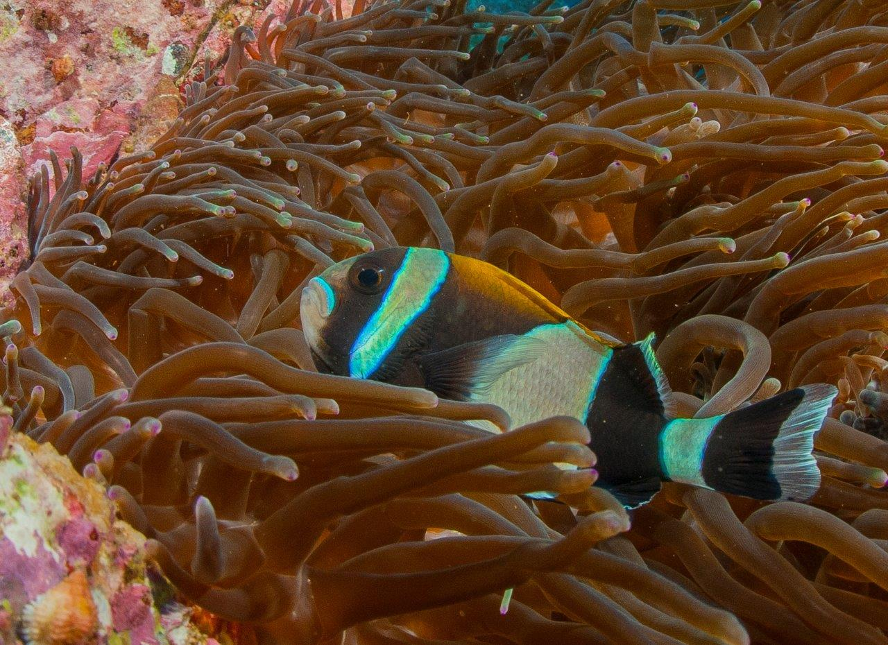 This anemone fish species is only ever seen in Northern NSW & Lord Howe Island. There are only approximately 25 species of anemone fish in the World