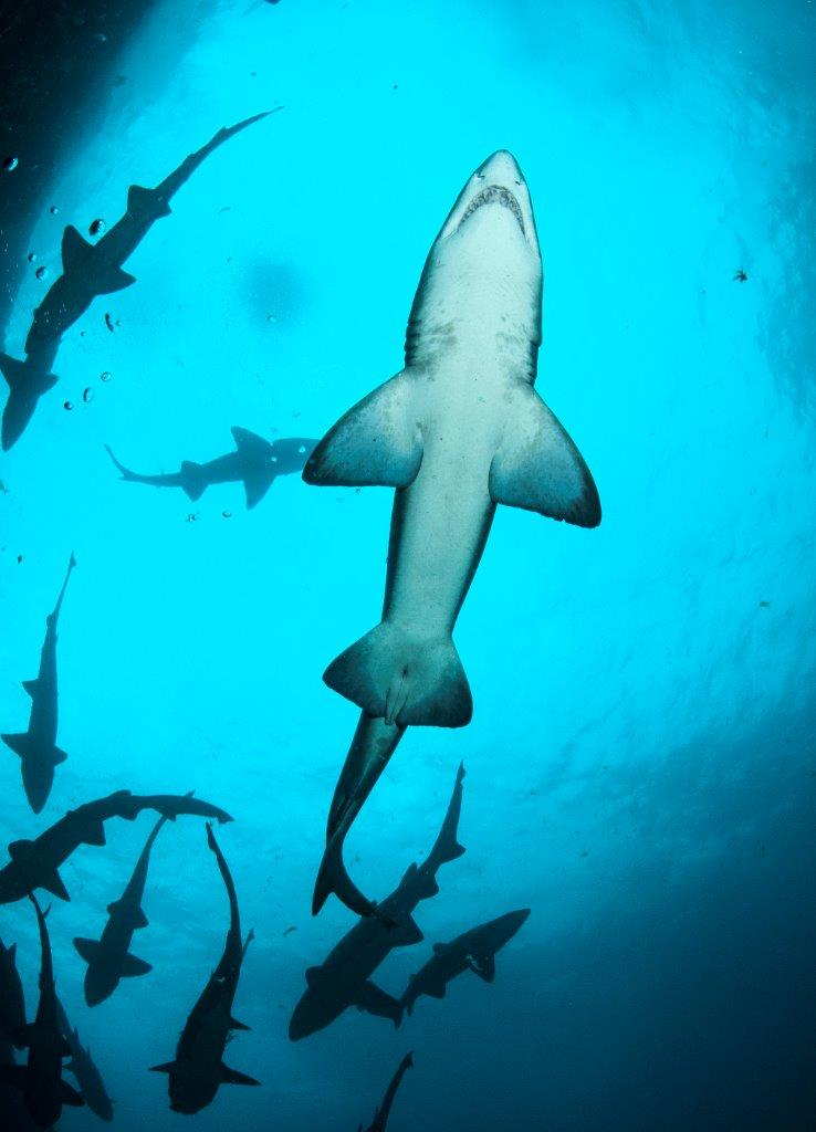 On most dives around Fish Rock it is common to encounter Grey Nurse Sharks. Fish Rock is known as the area to encounter the greatest congregation of Grey Nurse Sharks in Australia.