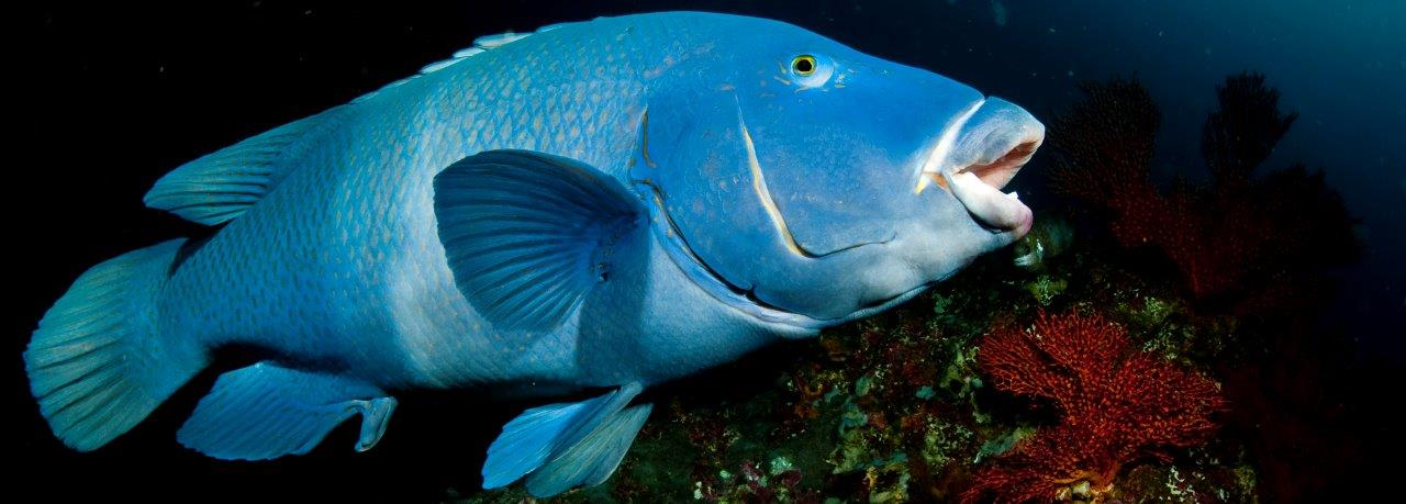 The friendly Blue Groper, actually a giant wrasse with no connection with groupers, is always inquisitive and ready to greet you face to face