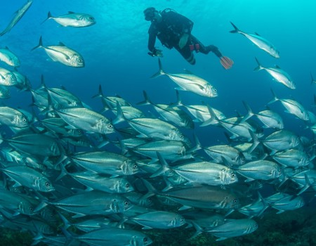 John Park joins a school of Big Eye Jacks schooling above the reef.